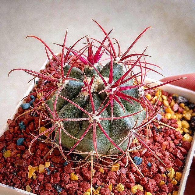 Edible Succulent-Ferocactus-SC
