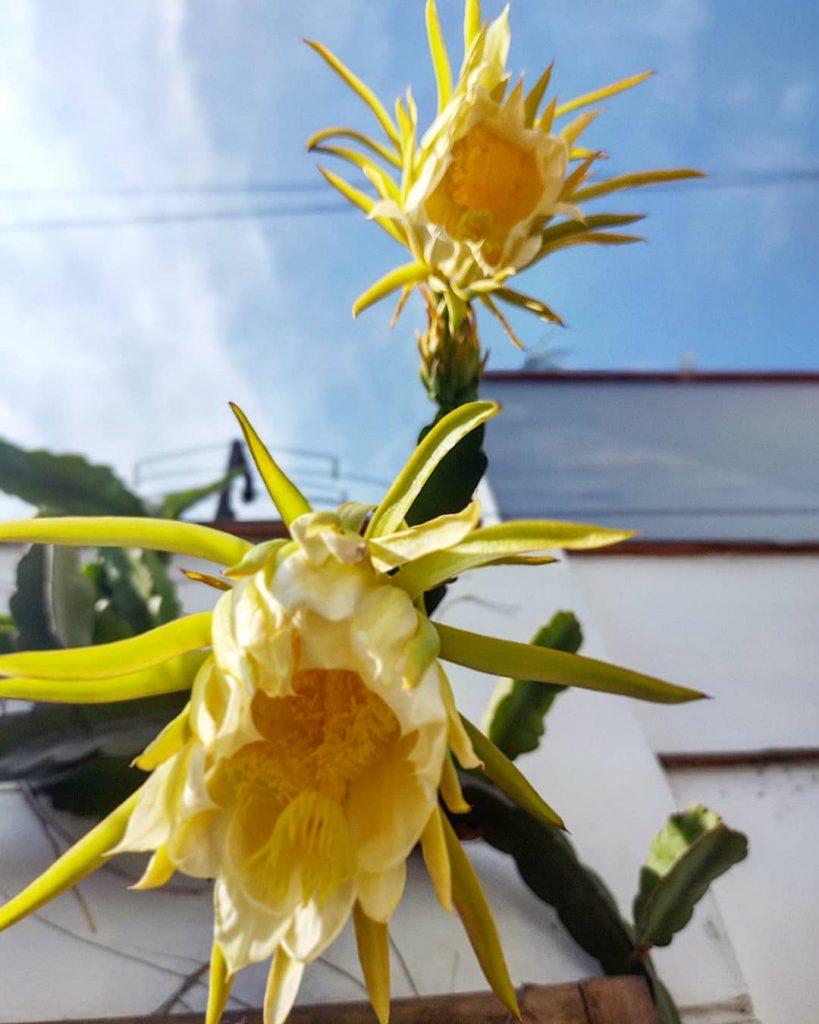 Edible Succulent-Hylocereus-SC