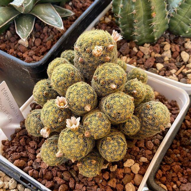 Edible Succulent-Fruits of Mammillarias-SC