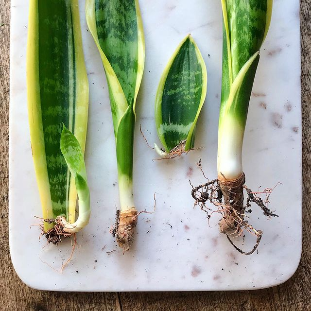 Propagating Leaves Outside-Propagating Plants from Leaf Cuttings-SC
