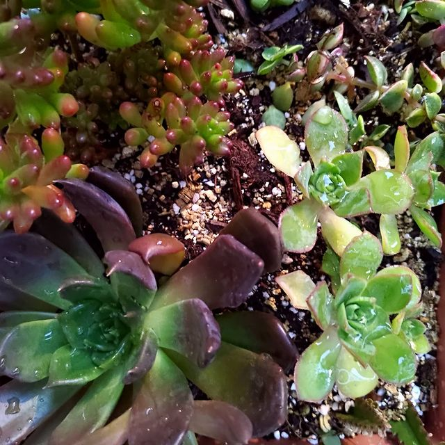 How to Water Succulent Plants-How to Water Succulents in the Ground-SC