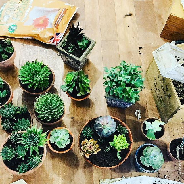 Ants in Succulent Soil-How to Get Rid of Ants in Succulent Soil-Repot the Succulents-SC