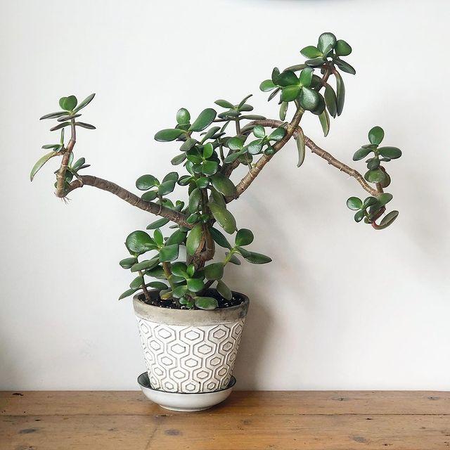 Propagating Crassula ovata-Propagating Crassula Ovata from Leaf Cuttings-SC