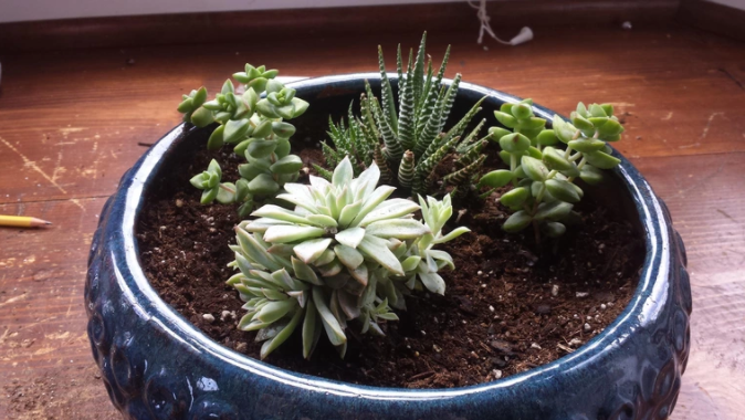 How to Water Succulent Plants-SC