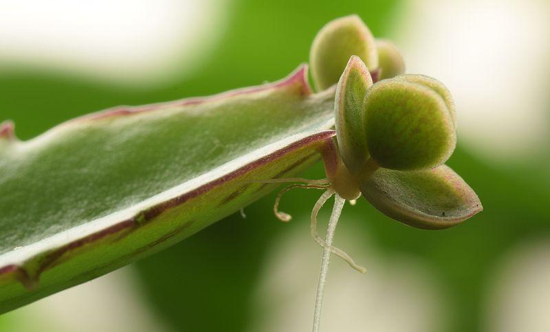 plantlets