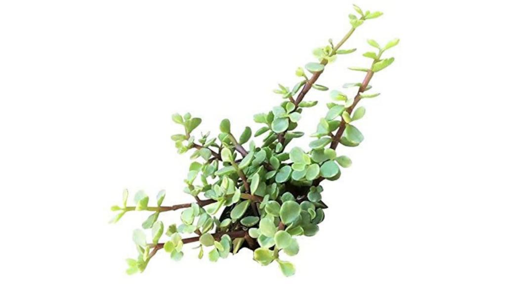 portulacaria afra variegata succulent